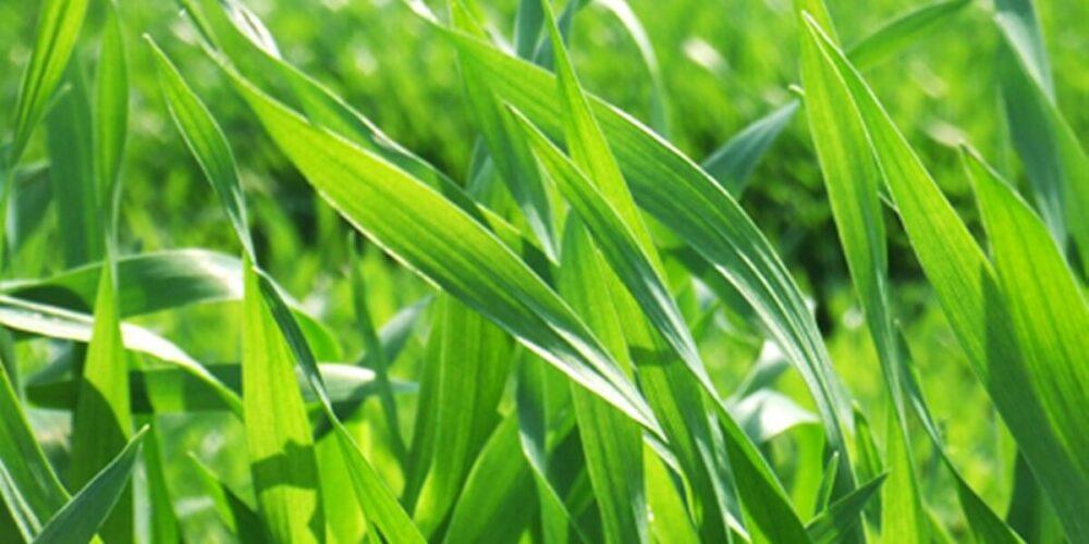 青汁の原料の大麦若葉